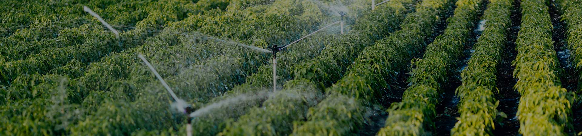 sprinklers watering fields